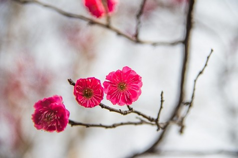 Chinese Plum Flowers have a special significance in Asia, where they are highly prized for their delicacy and beauty. They are often used to depict the ...